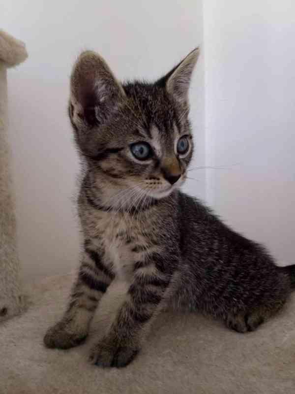 Prodám koťata  - foto 3