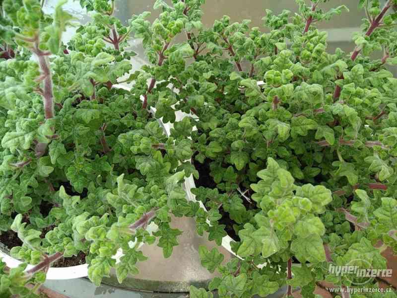 Zahradnictví Valinová MIGRÉNOVNÍK Iboza species Tetradenia s
