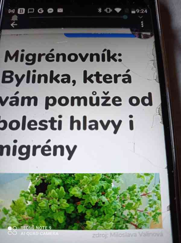 Migrénovník iboza species Tetradenia