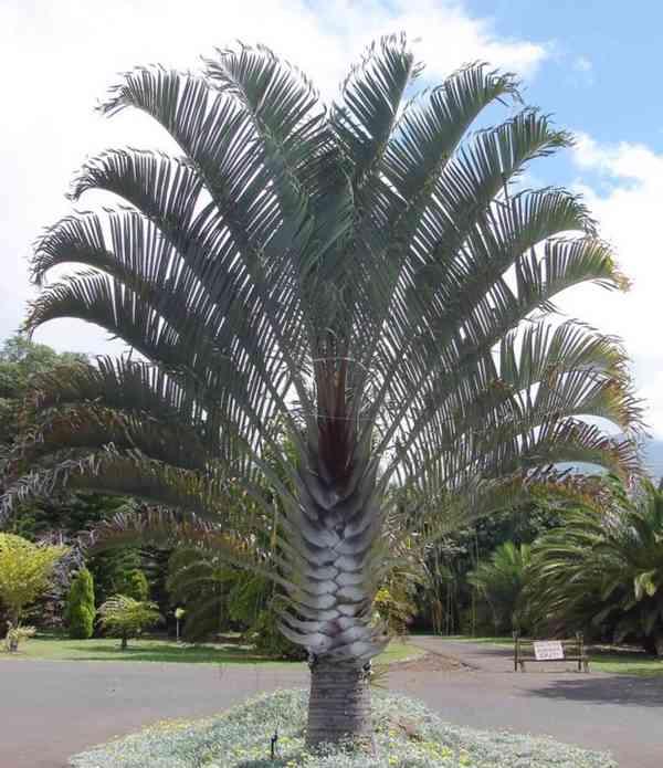 sazenice Palma Dypsis decaryi