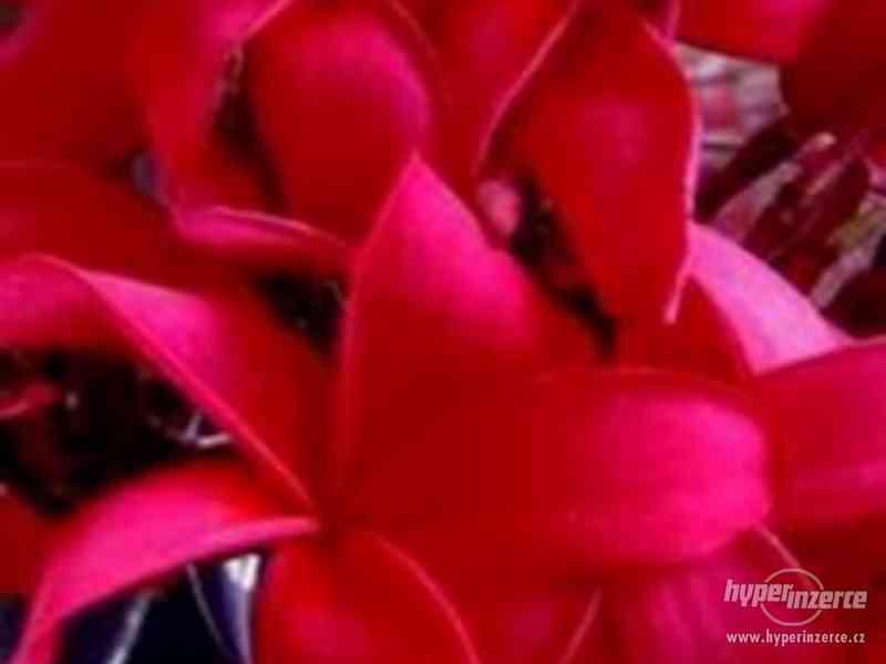 Plumeria  Red Fire - semena