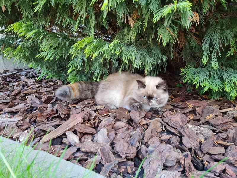 Himalájská koťata, exotická, perská koťatka  - foto 6
