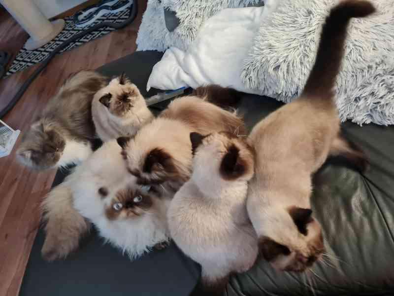 Himalájská koťata, exotická, perská koťatka  - foto 5