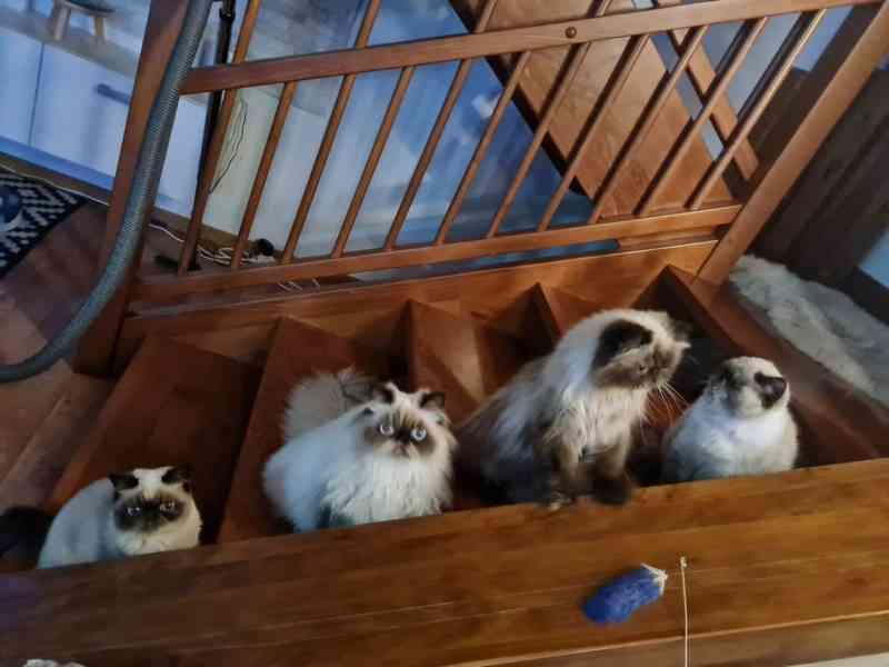 Himalájská koťata, exotická, perská koťatka  - foto 4
