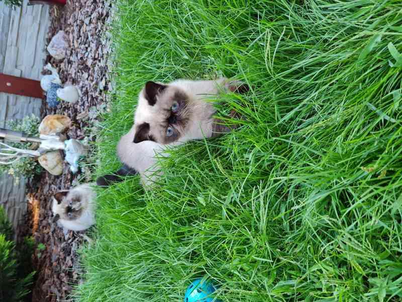 Himalájská koťata, exotická, perská koťatka  - foto 7