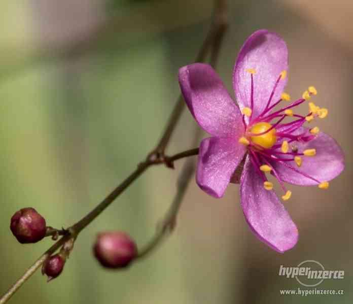 Šrucha latnatá - Talinum paniculatum - Semena - 0,2g - foto 3