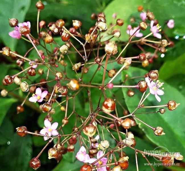 Šrucha latnatá - Talinum paniculatum - Semena - 0,2g - foto 4