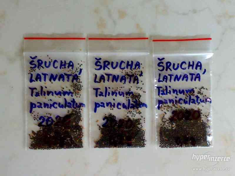 Šrucha latnatá - Talinum paniculatum - Semena - 0,2g - foto 5