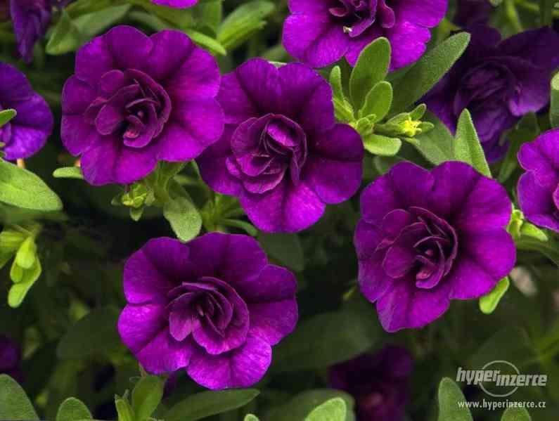 Zahradnictví Valinová Miloslava plnokvětý Millinbells - foto 7