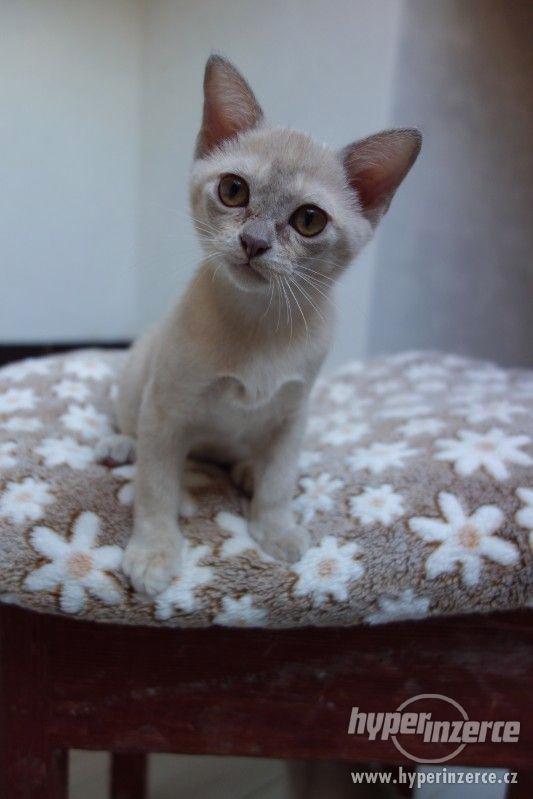 Barmská koťátka