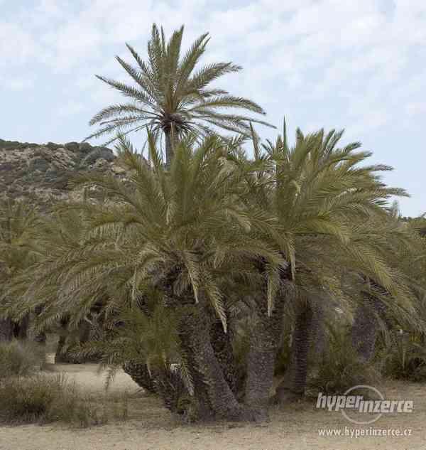 Palma Phoenix theophrasti - naklíčená semena