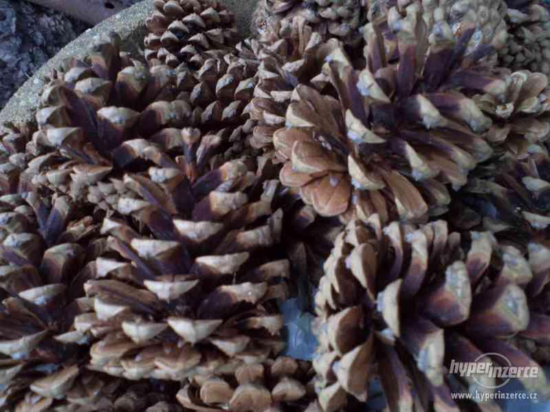 Prodáme šišky z Černé borovice