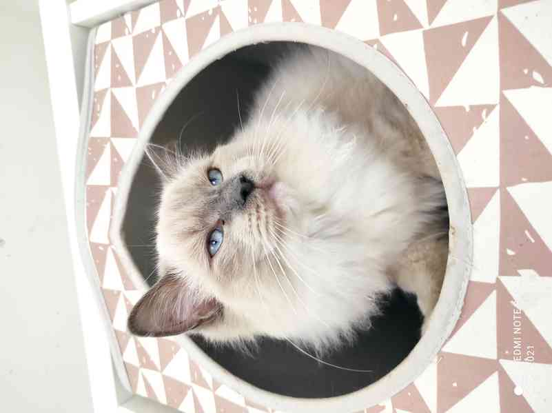 Ragdoll koťátka bez PP - foto 3