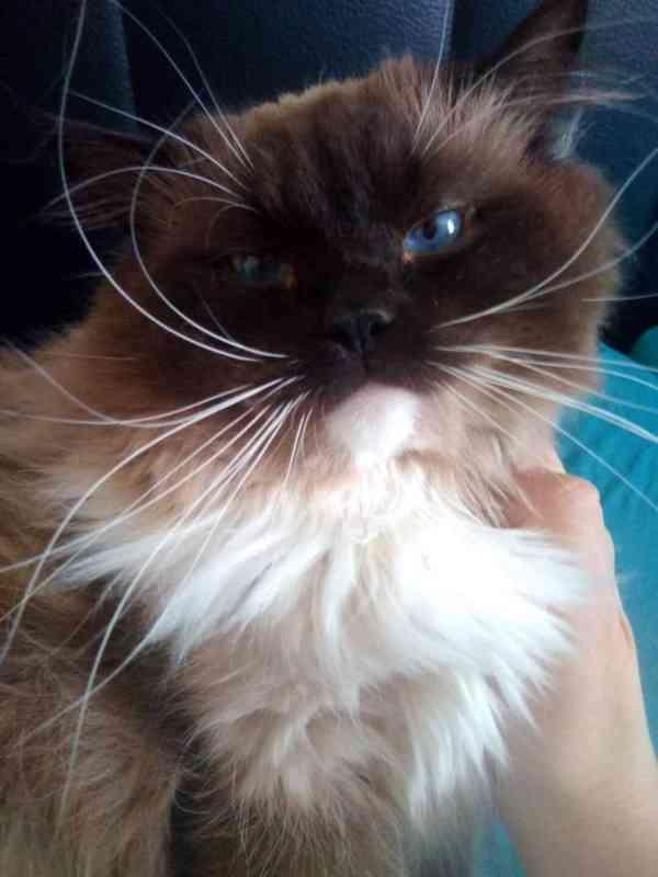 Ragdoll koťátka bez PP - foto 4