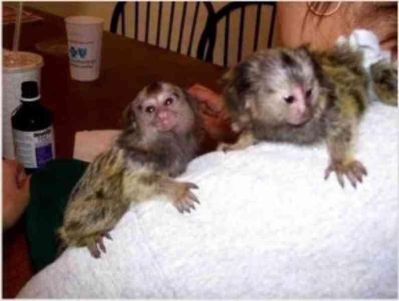 Okouzlující opice kosmanů k adopci