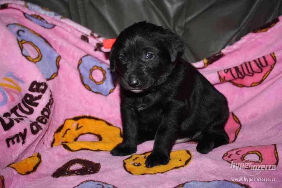 Rozkošná štěňátka Labrador